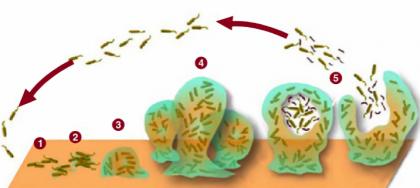 Развитие бактериальной пленки. Колония бактерий, постепенно разрастаясь, сформирует вокруг себя изолированную среду, обеспечивающую защиту и комфортные условия (1-3). На определенном этапе роста колонии (4) группа бактерий снаряжается в свободное плавание, чтобы распространиться и основать новую колонию (5).
