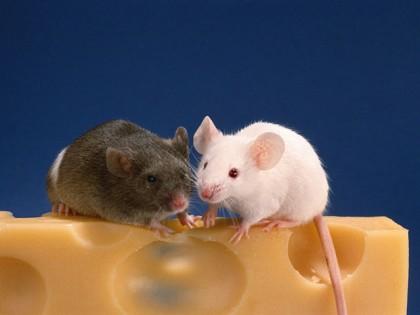 Мыши которых омолодили