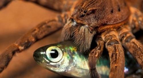 Пауки ловят рыбу