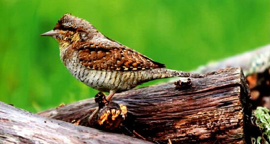 птица вертишейка