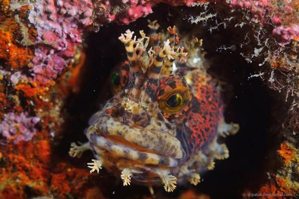 Японская мохнатоголовая морская собачка