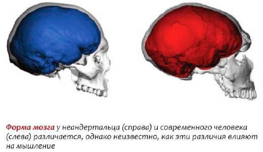 мозг неандертальца