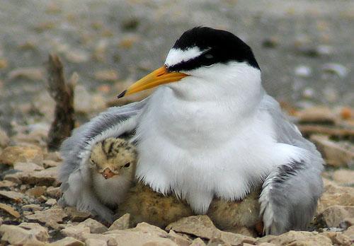 Малая крачка / Sterna albifrons / Little tern