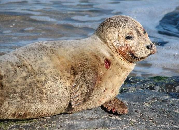 Бактерия-убийца Синтия распространяется по Мировому океану