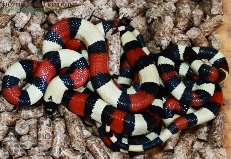 Семейство ужеобразные змеи (colubridae)