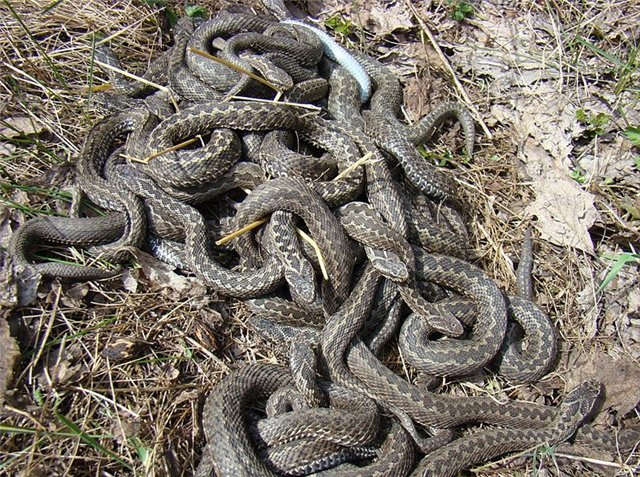 Семейство гадюковые змеи (Viperidae)