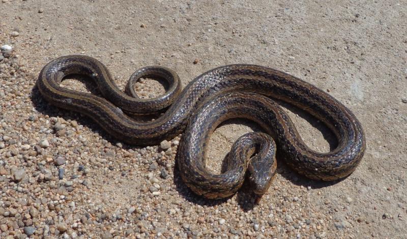 Красноспинный полоз (Oacatochus rufodorsatus)