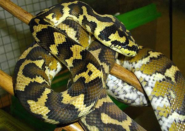 Семейство удавы, или ложноногие змеи (boidae)