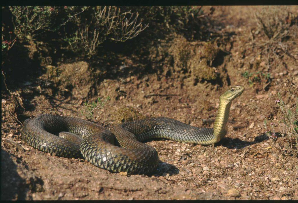 Ящеричная змея (Malpolon monspessulanus)