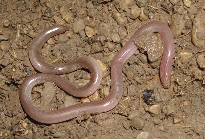 Червеобразная слепозмейка (Typhlops vermicularis Daudin)