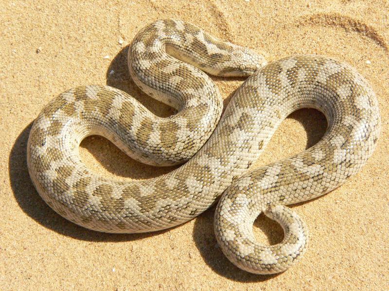 Песчаный удавчик (Eryx miliaris)
