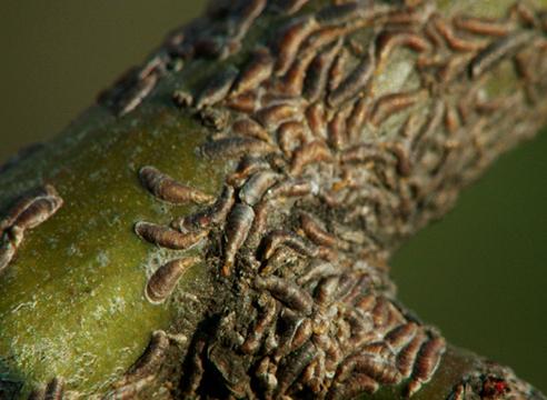 Семейство щитовки (Diaspididae)
