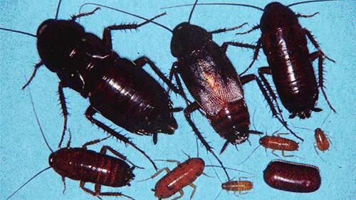 Семейство настоящие тараканы (Blattidae)
