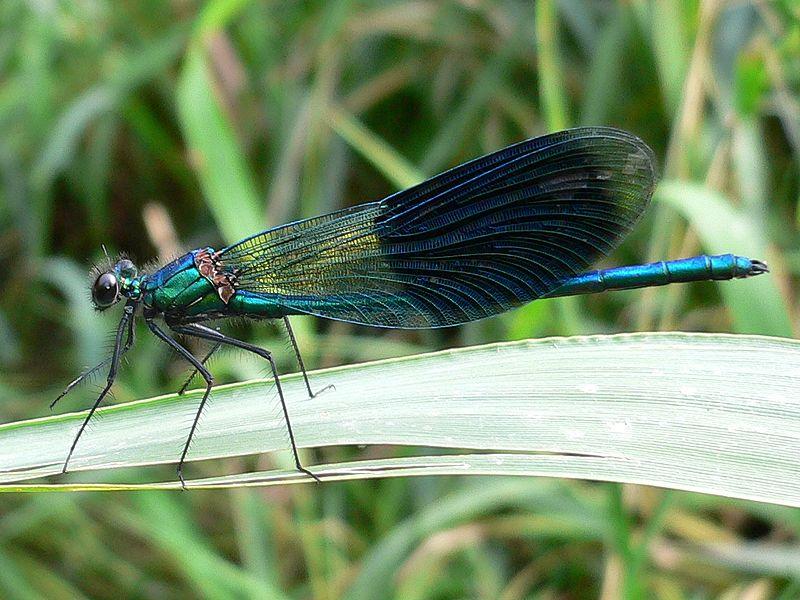 Семейство красотки (Calopterygidae)