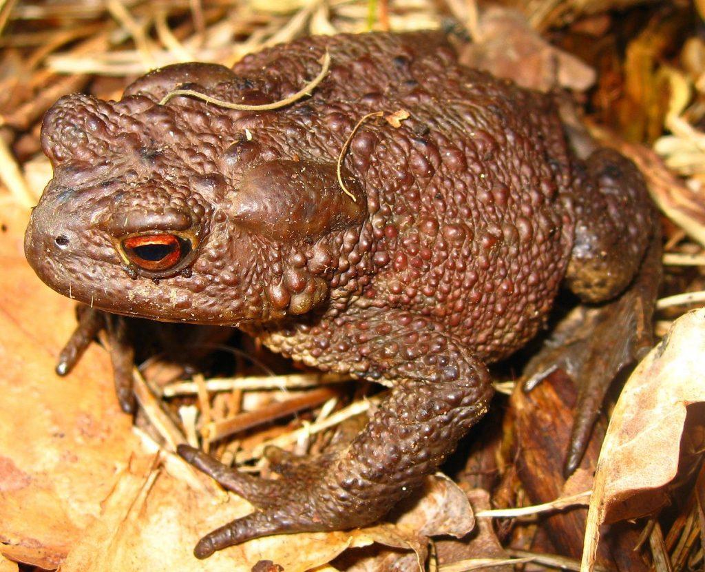 Жаба обыкновенная (жаба серая) (Bufo bufo)