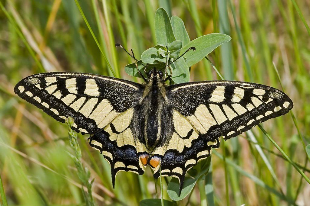 Семейство парусники (Papilioniciae)