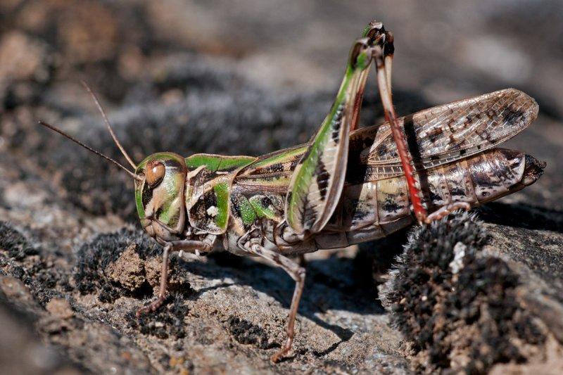 Подсемейство эдиподины (Oedipodinae)