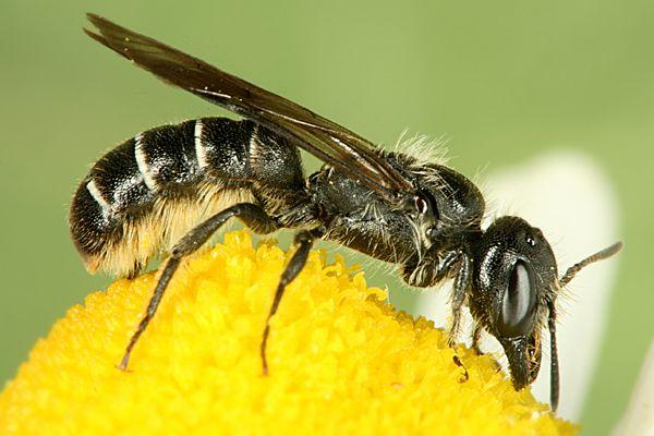 Семейство пчелы-листорезы, или крупнозубые пчелы (Megachilidae)