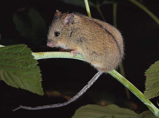 Лесная, или северная мышовка (Sicista betulina)