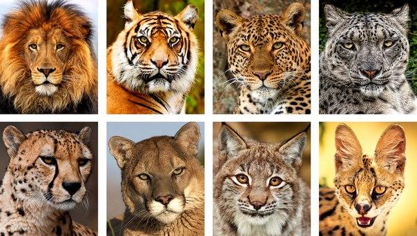 Семейство кошачьи (Felidae)