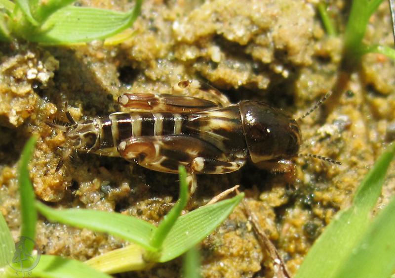 Надсемейство триперстовые (Tridactyloidea)