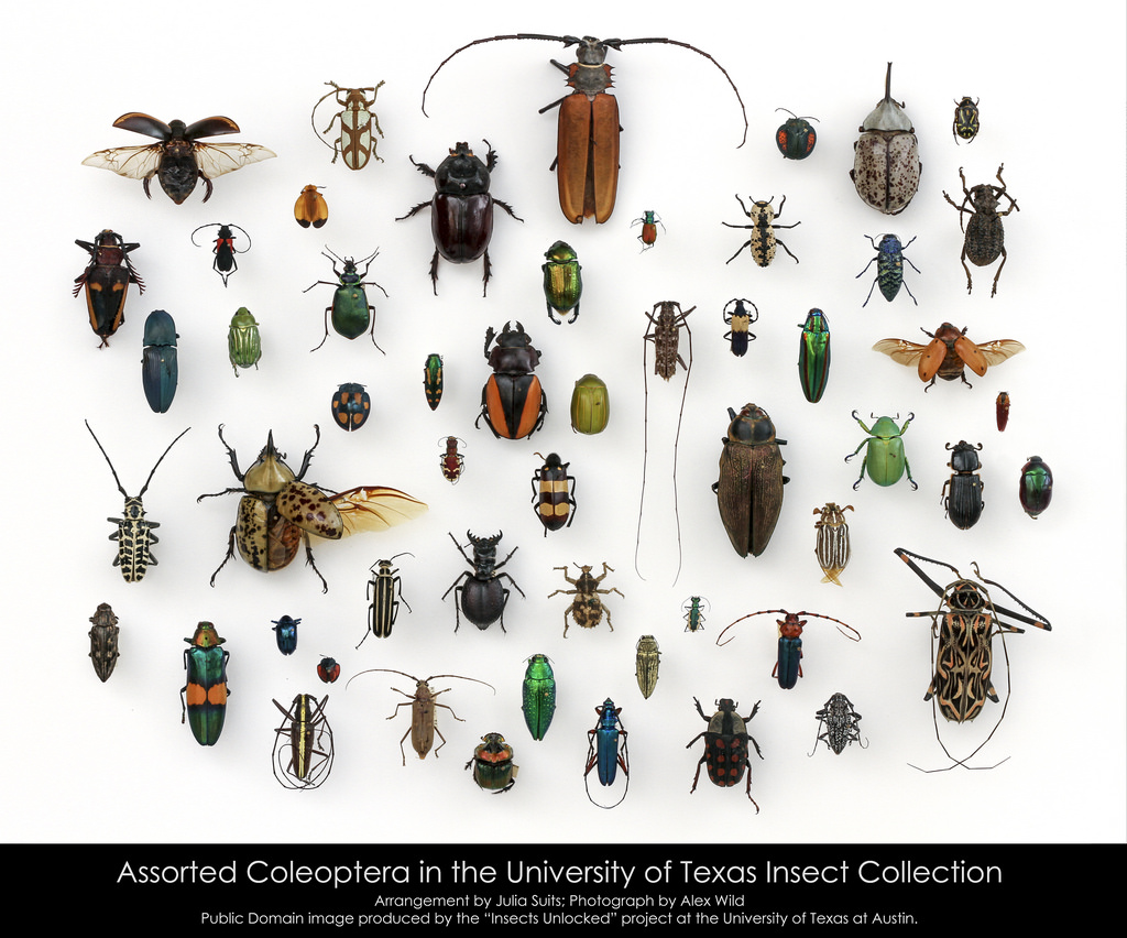 Отряд жесткокрылые, или жуки (Coleoptera)
