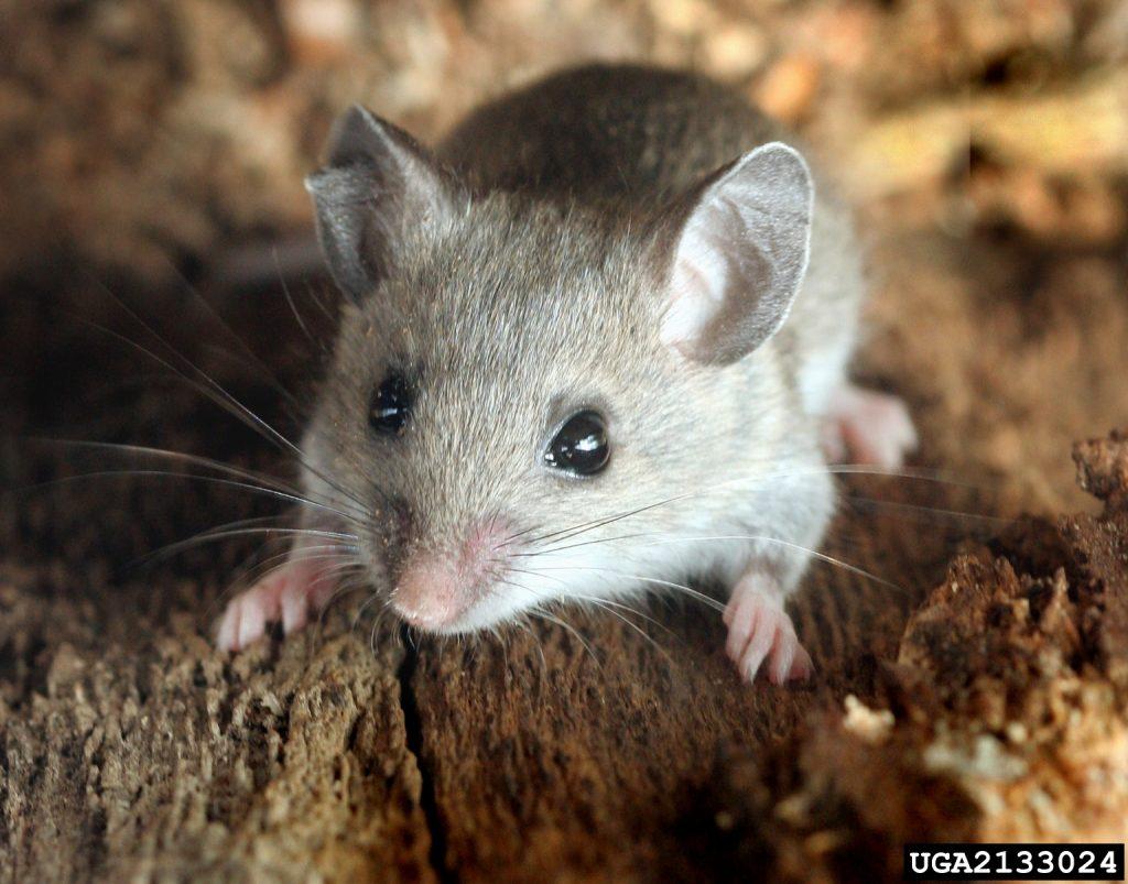 Семейство мышиные (Muridae)