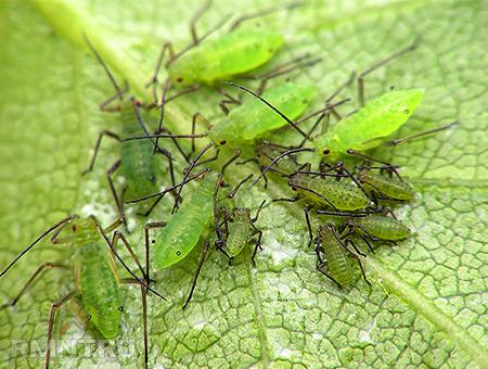 Семейство настоящие тли (Aphididae)
