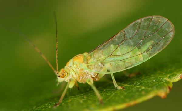 Подотряд Листоблошки, или Псиллиды (Psyllinea)
