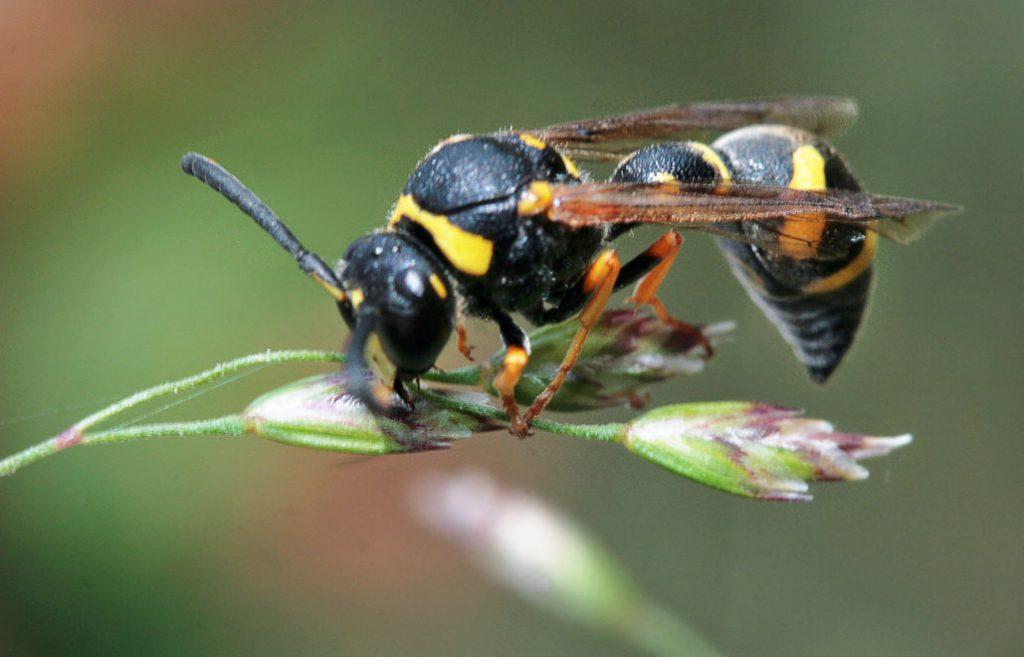 Подсемейство одиночные осы или эвмены (Eumeninae)