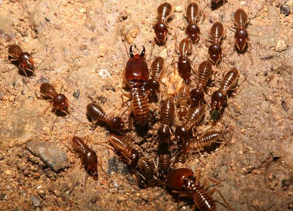 Отряд термиты (Isoptera)