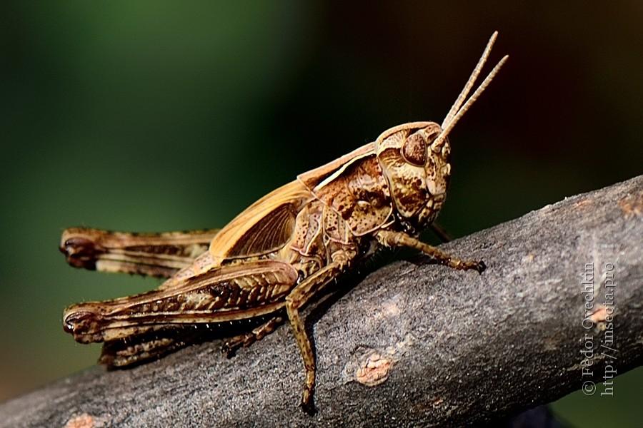 Надсемейство саранчовые (Acridoidea)