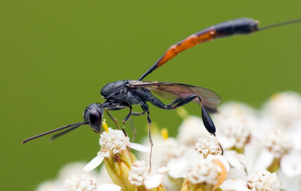 Семейство гастеруптиды (Gasteruptiidae)