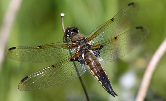 Семейство настоящие стрекозы (Libellulidae)