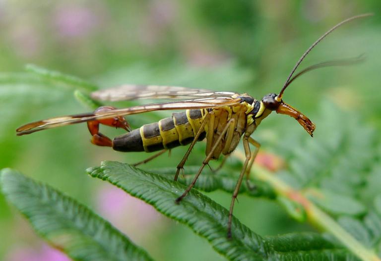Отряд скорпионницы, или скорпионовые мухи (Mecoptera)