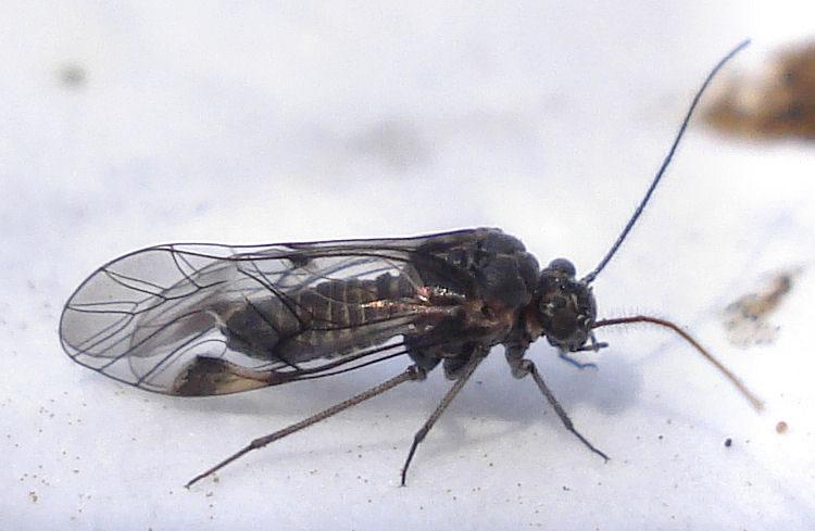Семейство настоящие сеноеды (Psocidae)