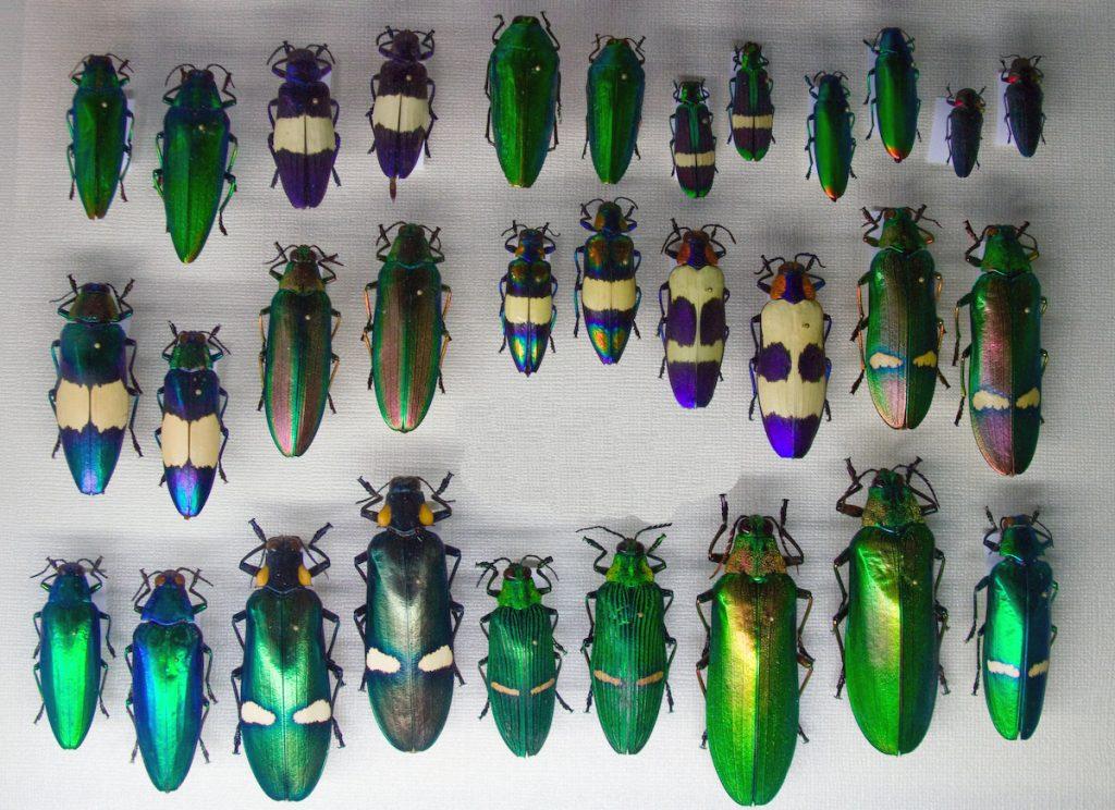 Жуки златки (Buprestidae)