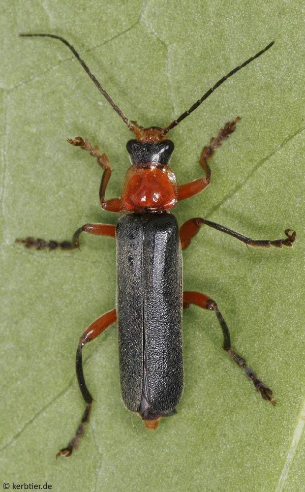 Жуки мягкотелки (Cantharidae)