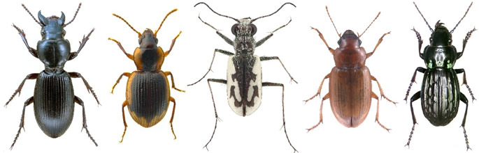 Жуки жужелицы (Carabidae)