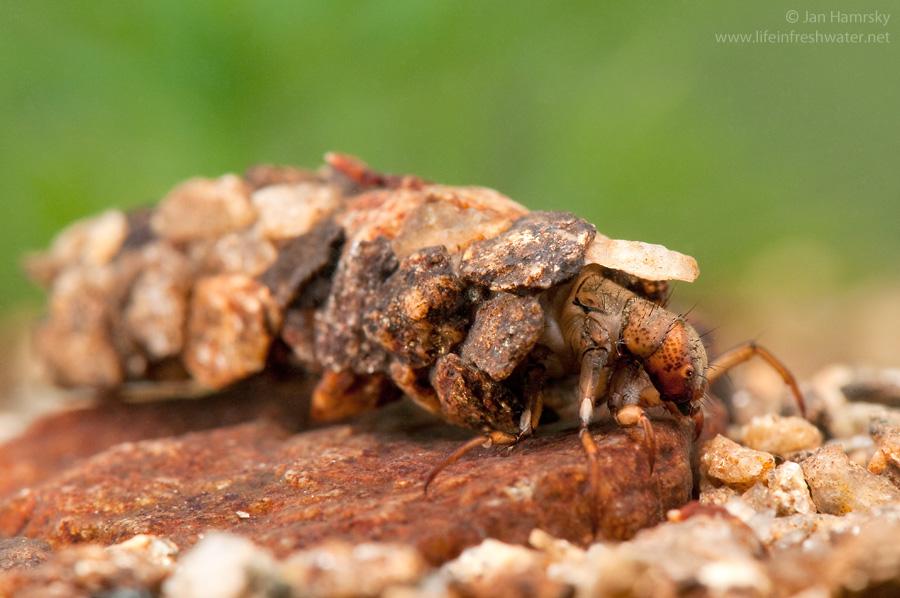 Отряд ручейники, или волосистокрылые (Trichoptera)