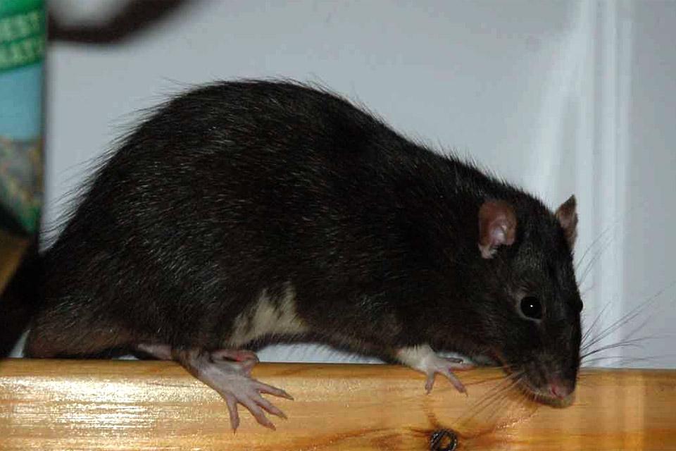 Черная, или корабельная, крыса (Rattus rattus)