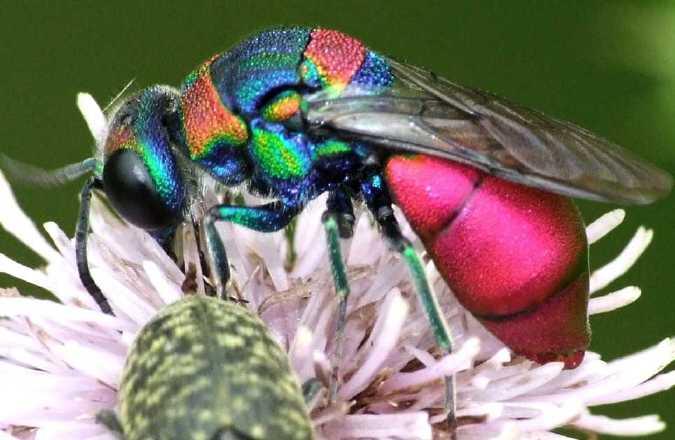 Семейство осы-блестянки (Chrysididae)