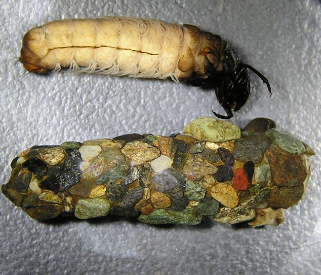 Семейство прудовые ручейники (Limnephilidae)