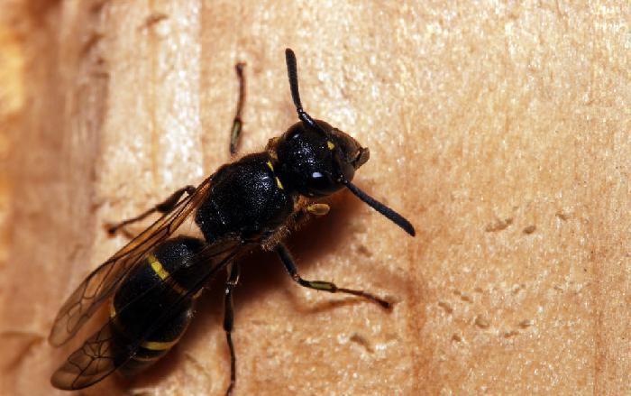 Семейство дорожные осы, или помпилы (Pompilidae)