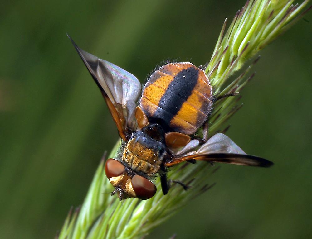 Семейство ежемухи (Tachinidae)