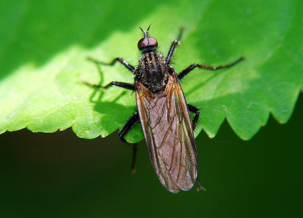 Семейство толкунчики (Empididae)