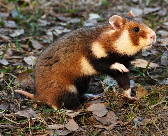 european-hamster-shutterstock_85663081
