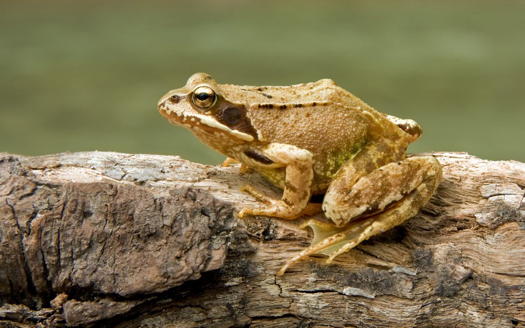 Лягушка травяная (Rana temporaria)
