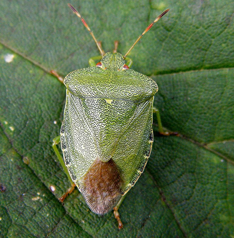 green-shield-bug-palomena-prasina-31-harecroft-crescent-sapcote-sp-4901-9371-taken-16-8-2009