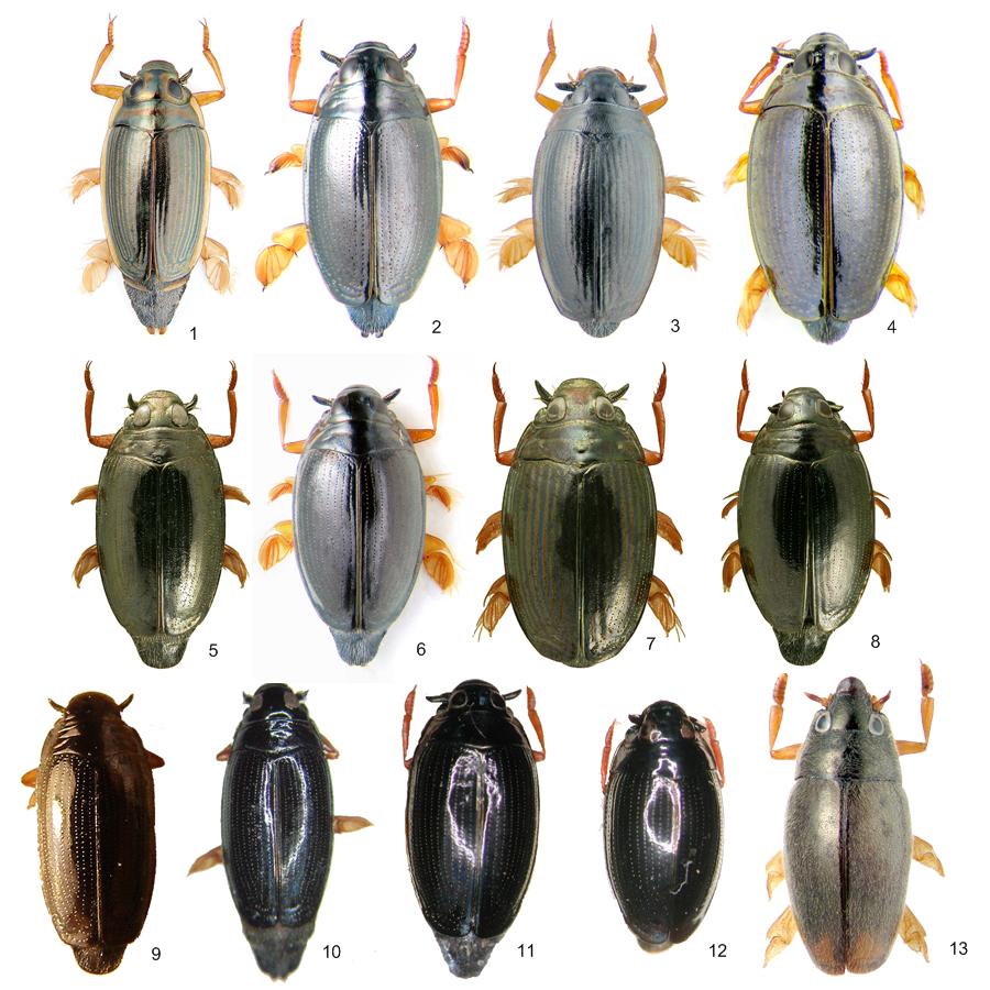 gyrinidae3